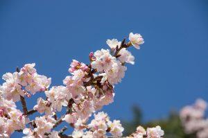 あたみ桜の花のアップ